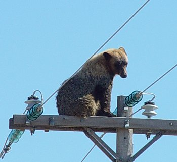 Bear up a pole in Walsh