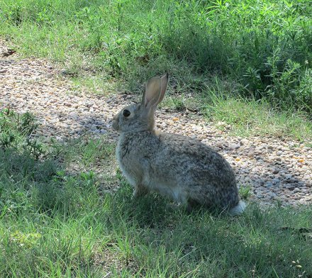 Cottentail rabbit